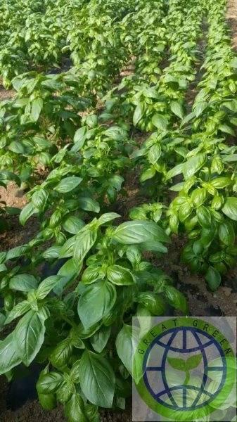 Green organic fresh basil leaves