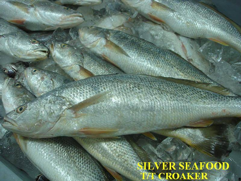 Frozen Tiger Toothed Croaker (T.T. Croaker)