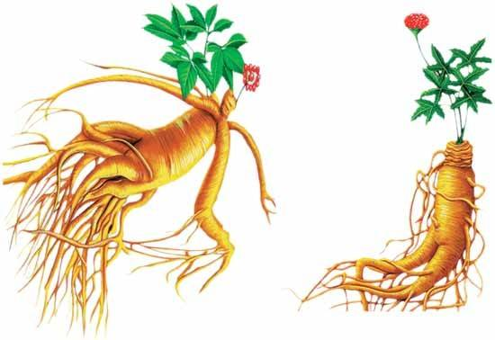Ginseng Extract  Ginsenoside UV 80%