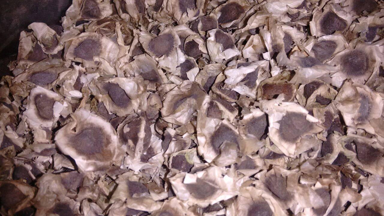 Natural Moringa Seed Exporters