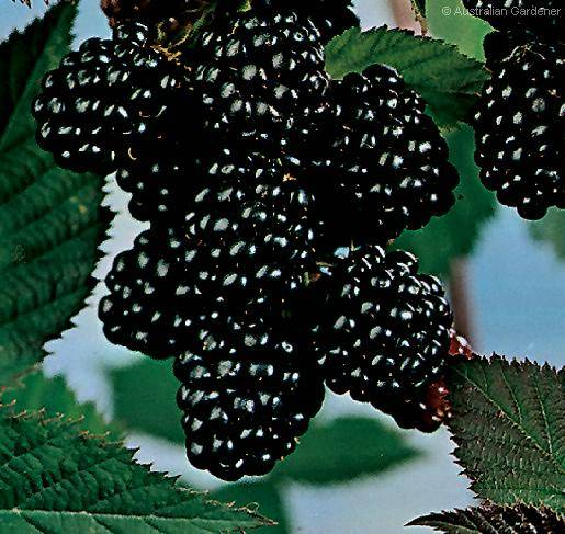 Black berry juice concentrate with the best quality