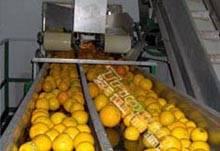 Triowin| Citrus Processing Line