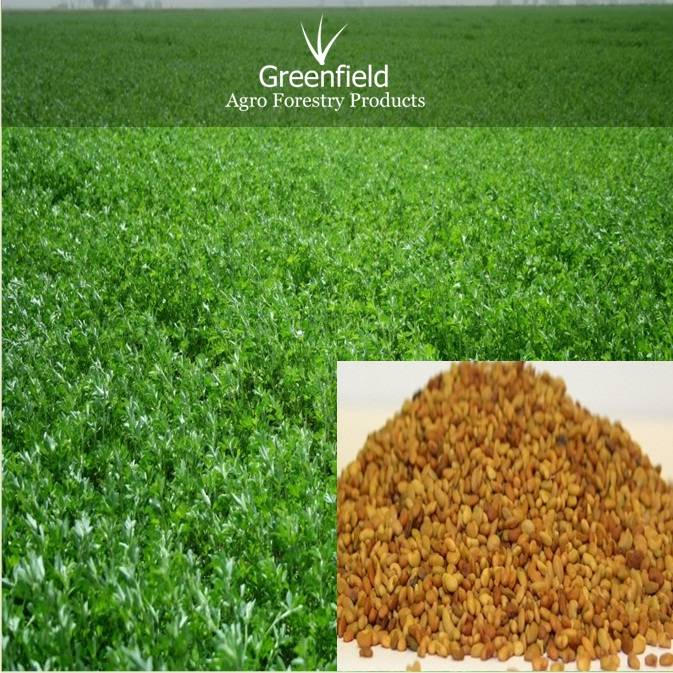 Alfalfa grass seeds ( Medicago satiba )