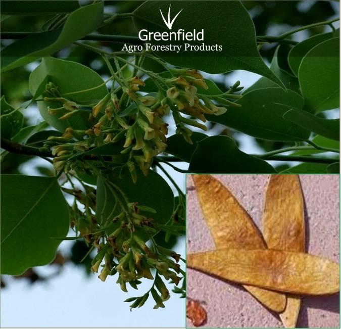 Sissoo Forestry Tree seeds ( Dalbergia, sissoo )