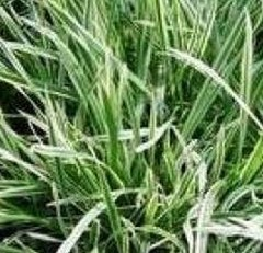 Oat Straw Extract