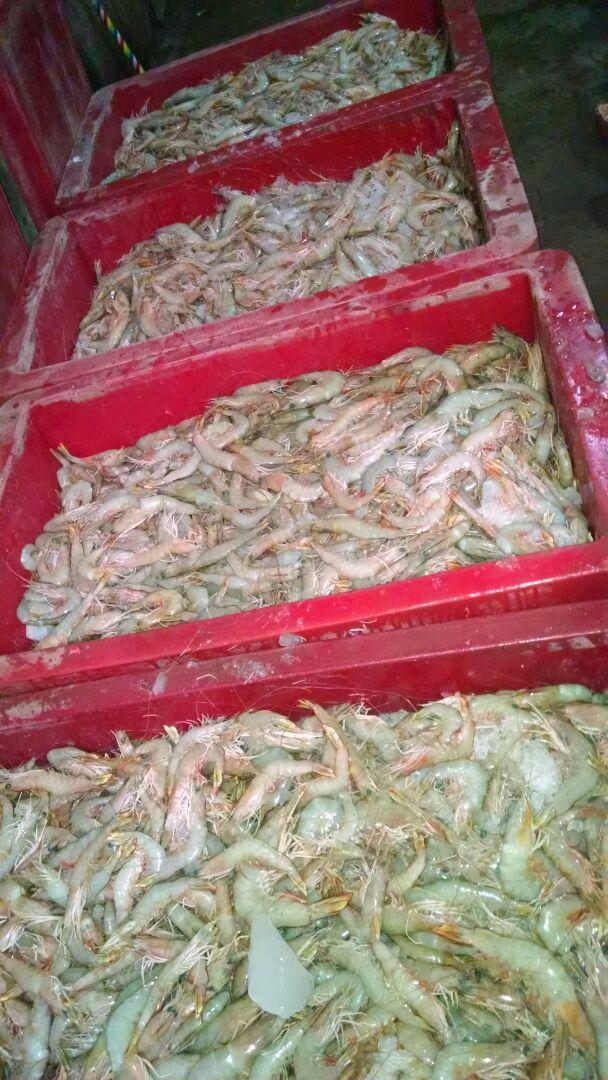 Fresh Jaira White Shrimps
