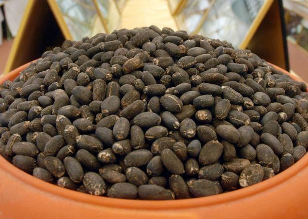 Jatropher Seeds