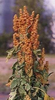 Quinoa Saponins (Chenopodium Quinoa Willd).
