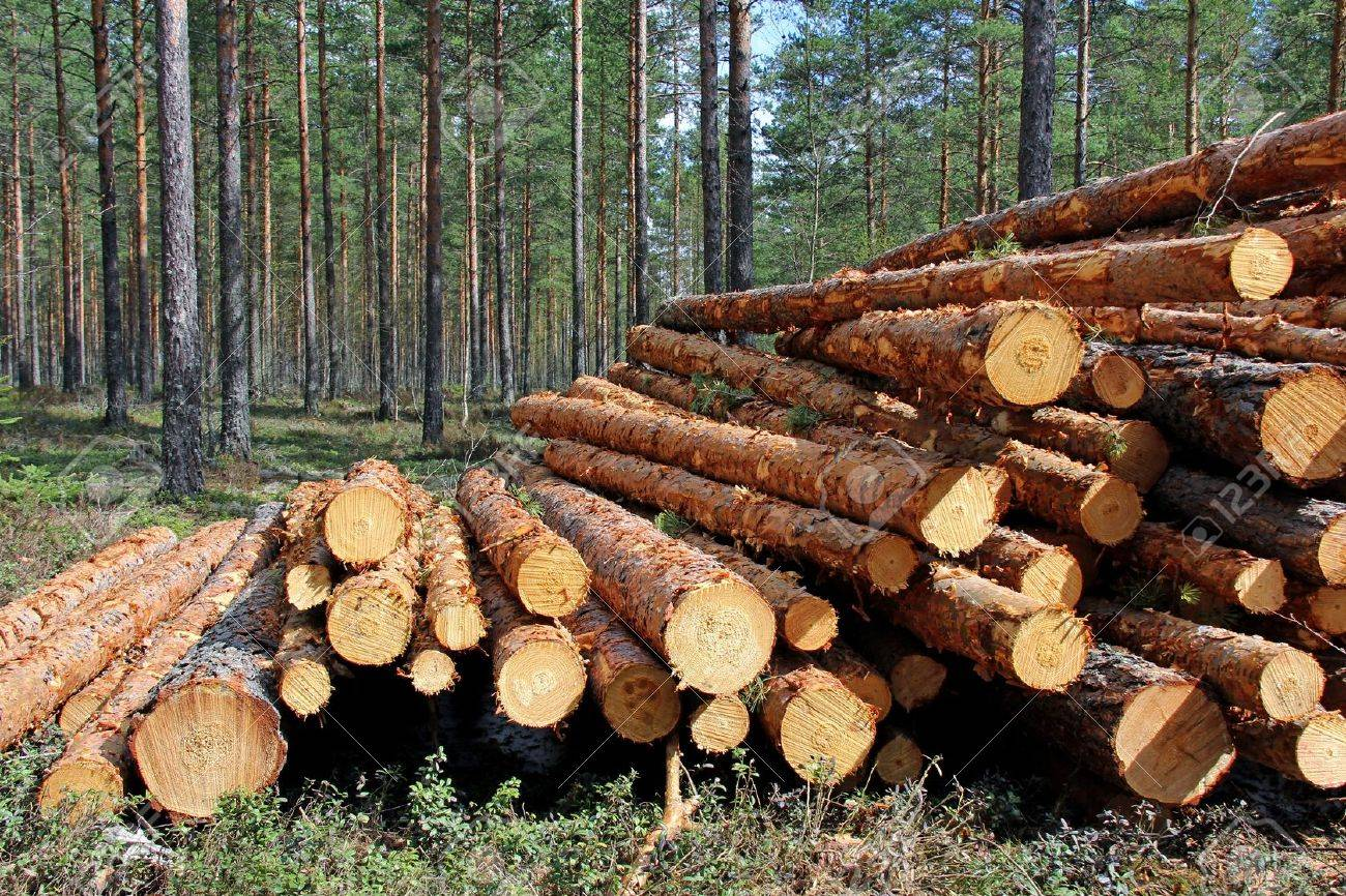 Pine logs for sale