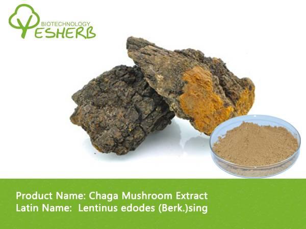 free sample high quality Chaga Mushroom Extract