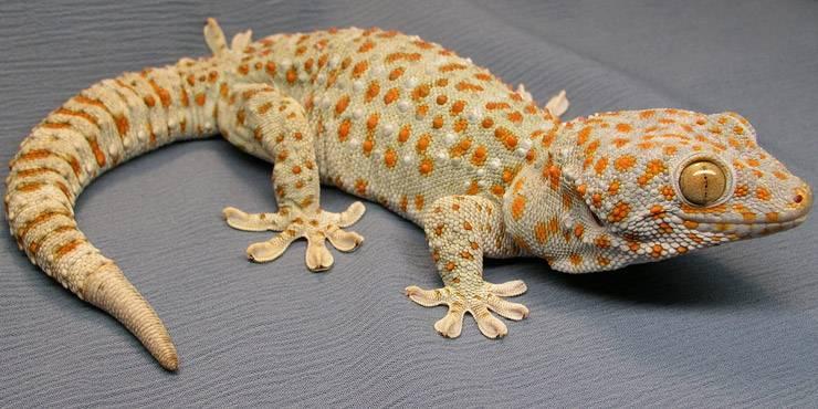 Gecko Tokay Tokek For Sale