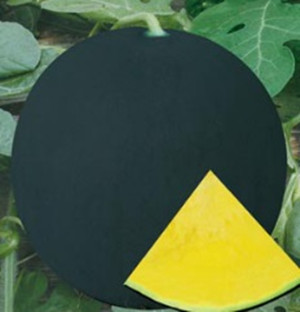 Golden Rose Yellow excellent quality seedless watermelon seeds