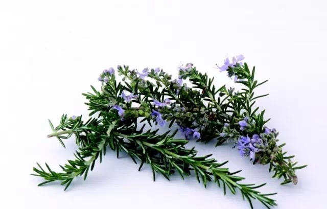 100% pure natural Rosemary Extract Carnosic Acid/ Rosmarinic Acid
