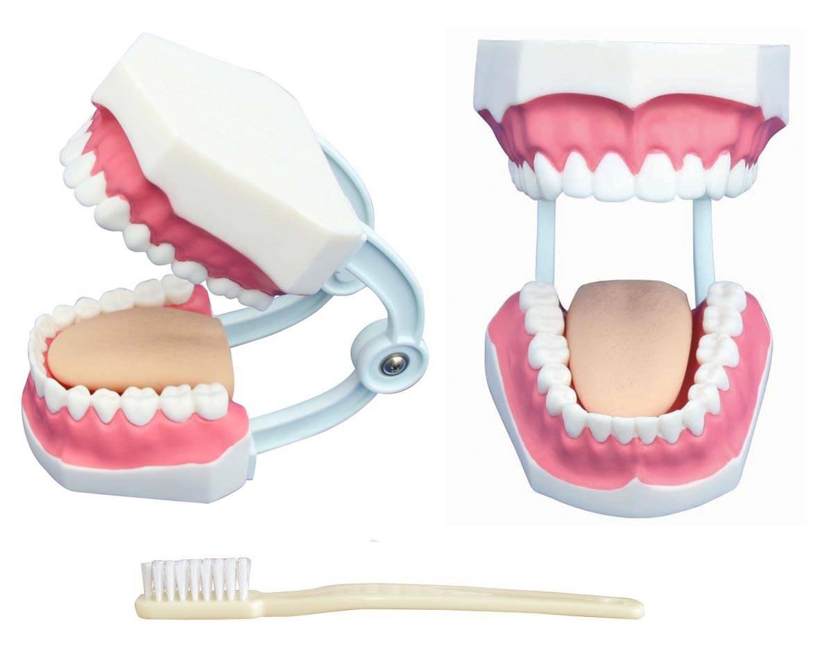 Small dental care Model 28 teeth