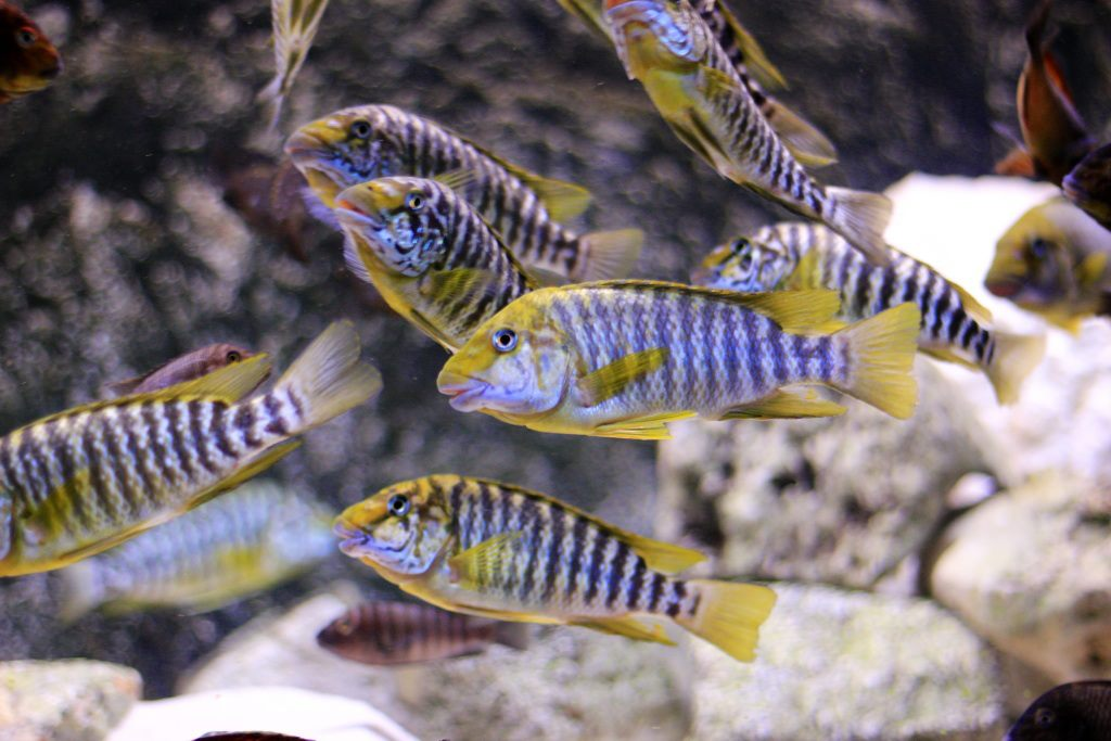 Wild Caught Petrochromis Cichlids from Lake Tanganyika