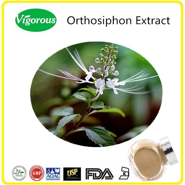 GMP manufacturer free samples high quality natural Orthosiphon Extract