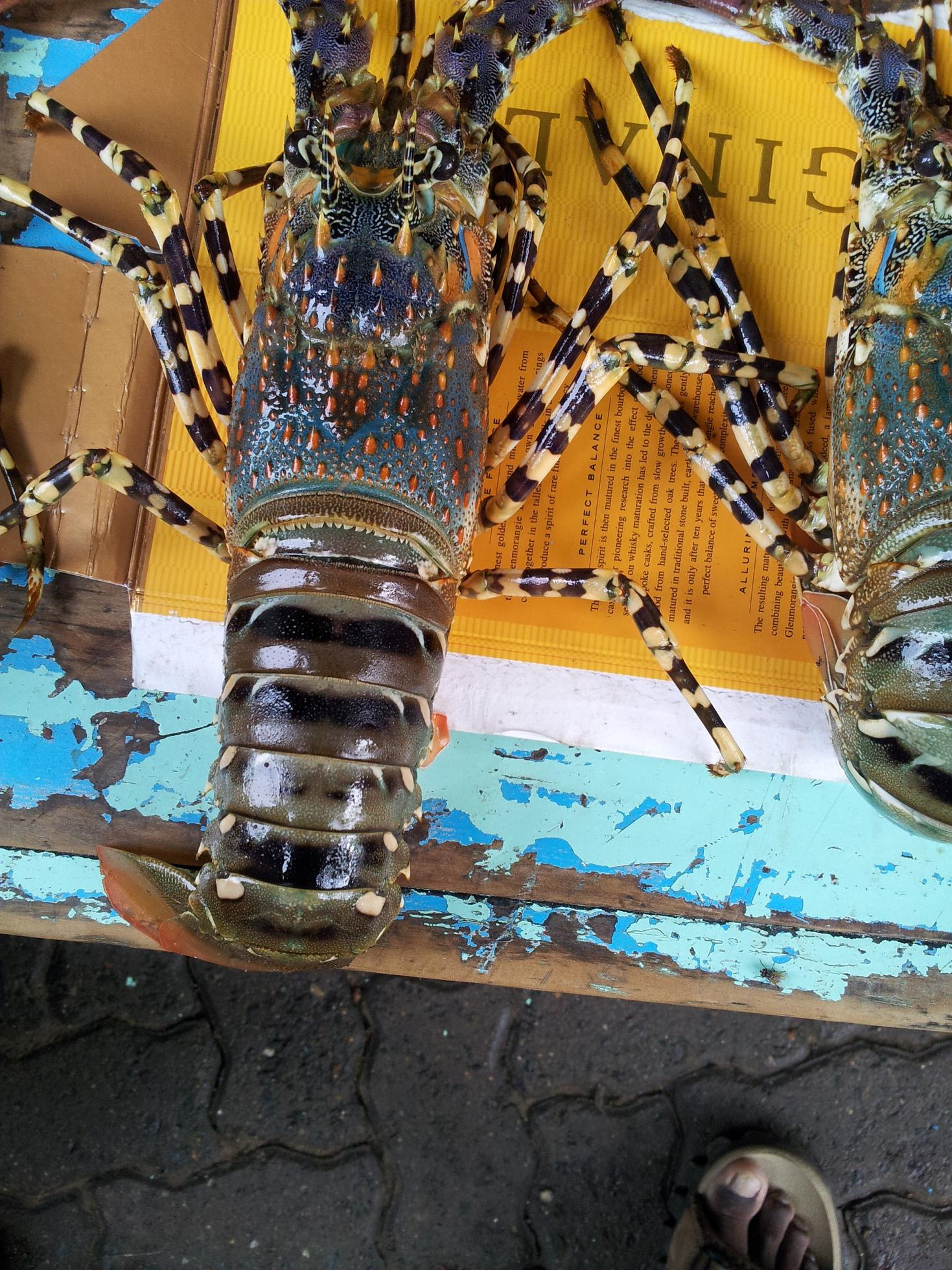 Spiny Lobster / High grade Live Lobster and Crayfish available for supply