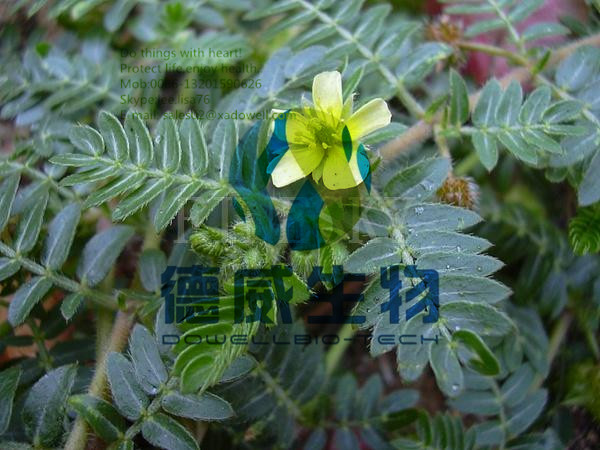 Tribulus Terrestris Natural Testosterone , Sports Nutrition Supplements for Bodybuilding