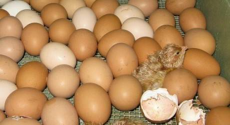 Fertile Hatching Chicken Egg, Fresh Chicken Table Eggs