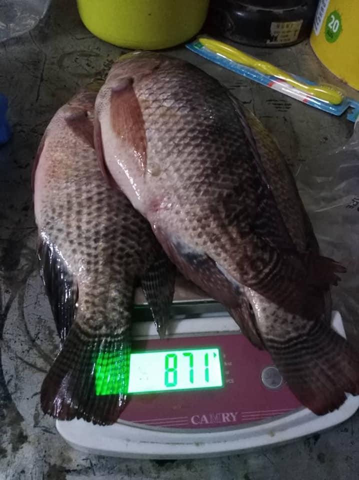 Tilapa fish