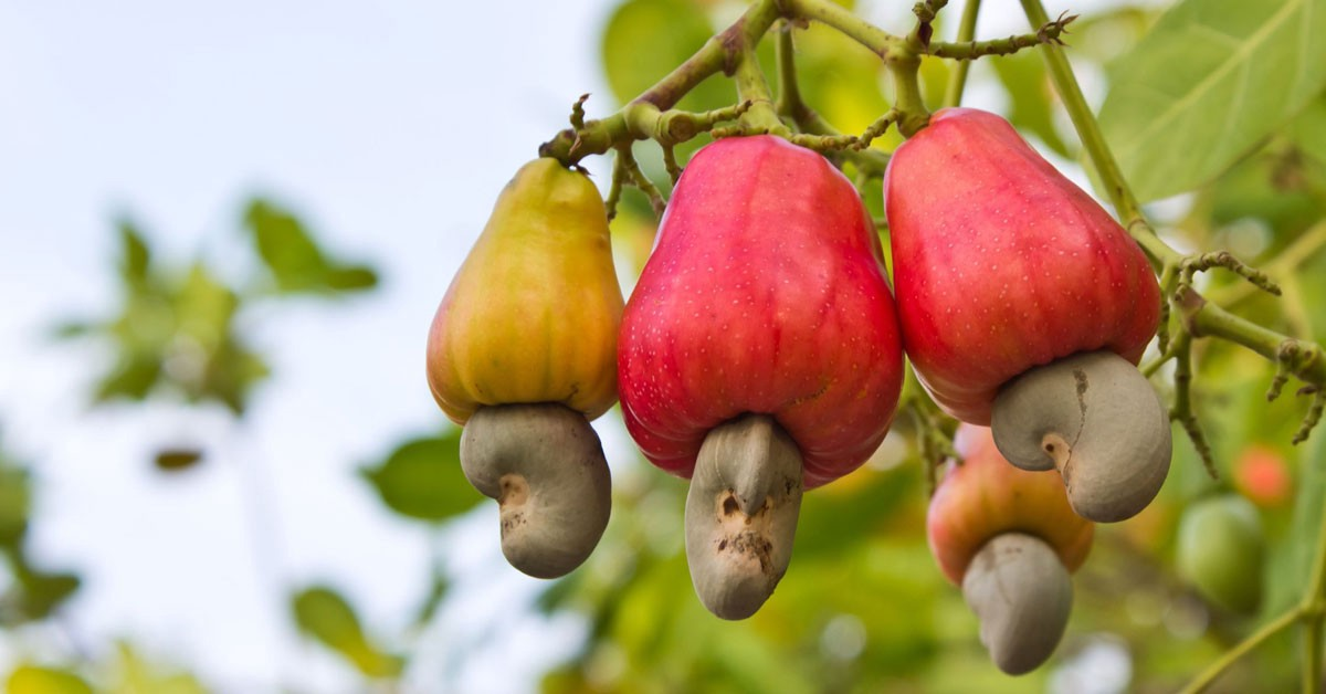 Cashew Nuts - Available for sale