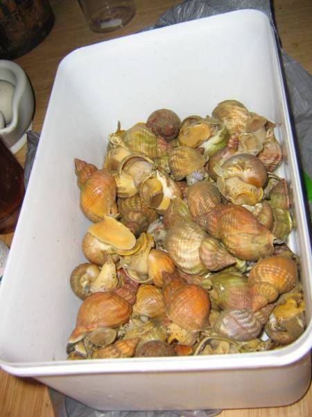 frozen cooked/raw whelk