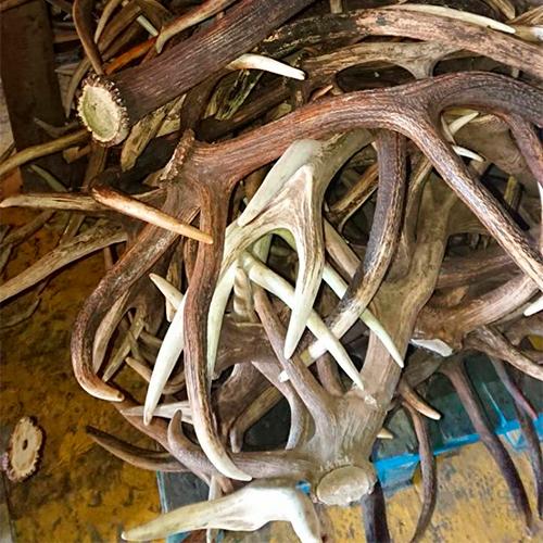 Altai Deer Horns