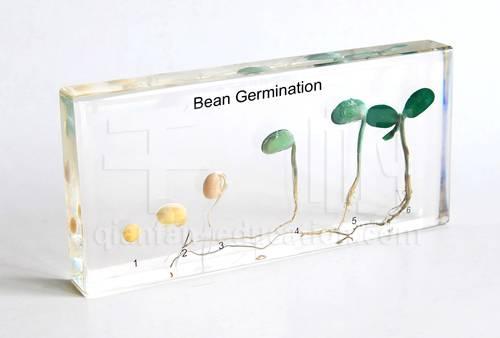 Qianfan Bean Germination Education Embedded Specimen for Biology