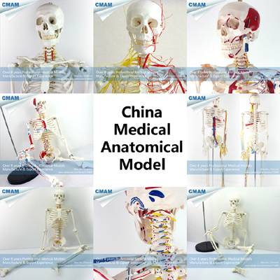 wholesale human anatomy skeleton 170cm/85cm