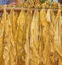 Fresh and Dry Tobacco Leaves