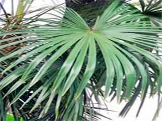 sawtooth palm extract