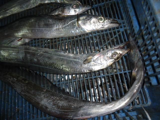 frozen rinbon fish