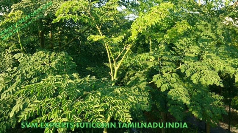 Best Moringa Oleifera Leaf Suppliers India
