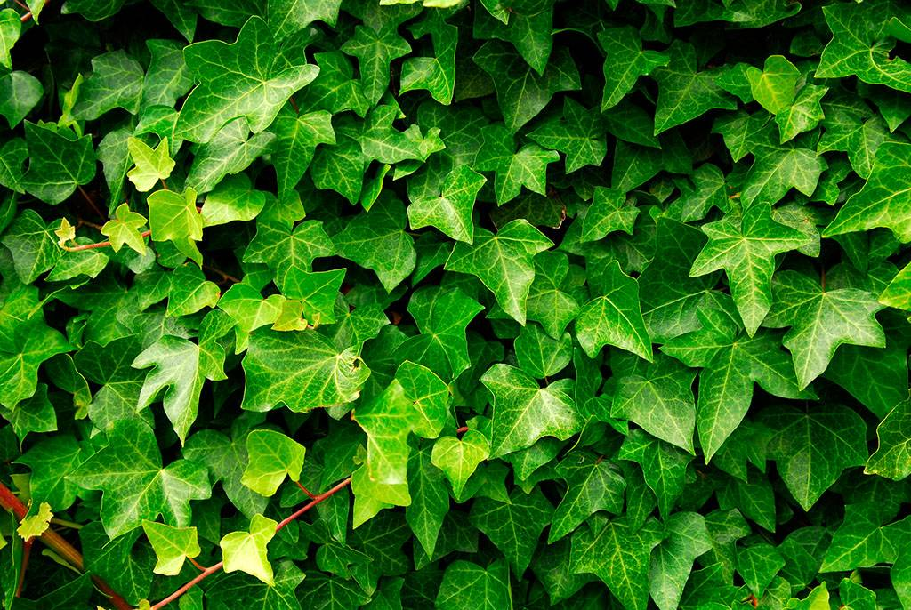Natural Ivy leaf extract  Ivy saponin
