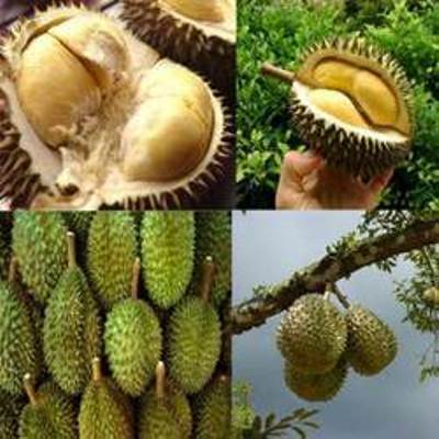 fresh durian fruit Monthong, Kradum for sale