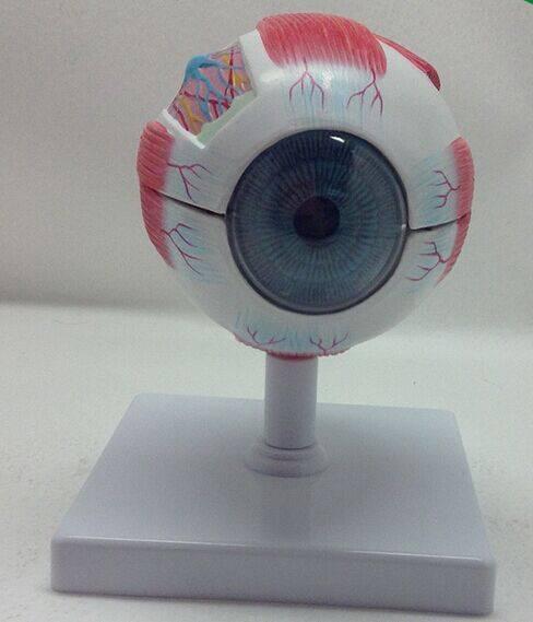 Eye Model/Eye Anatomical Model/Human Anatomical Model for Teaching &School