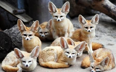 Young Fennec Fox,BabyFennec Fox,Exotic Animals for Sale