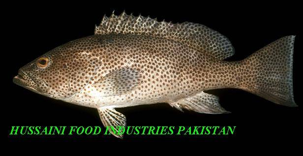 Brown Spotted Grouper