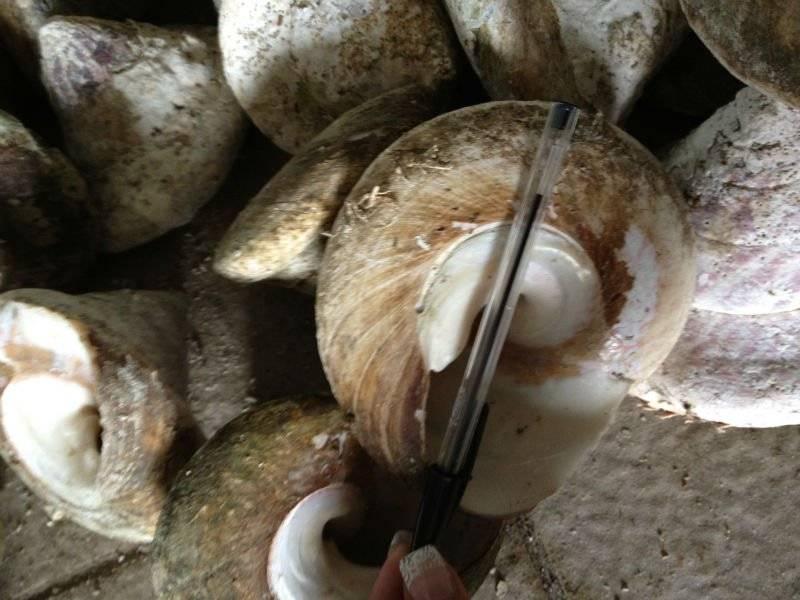 NEW CALEDONIAN TROCHUS SHELLS