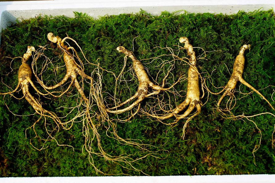 Wild Cultivated Ginseng