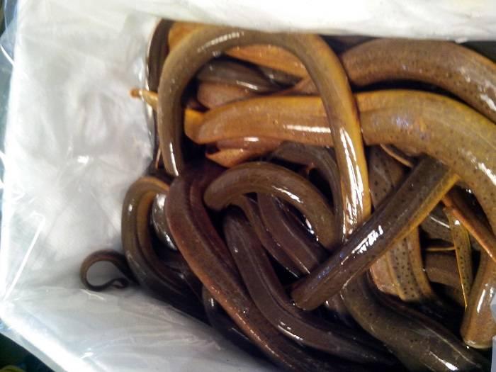 Live Eel Fish