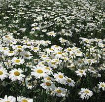 Pyrethrum dry flower powder