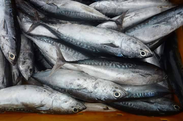 Bullet tuna for canned factory