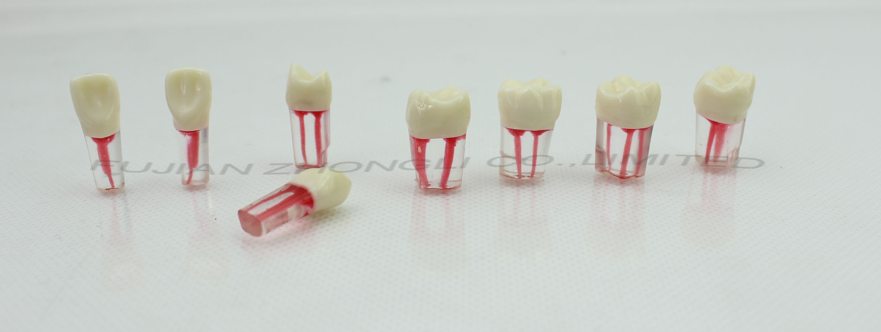 Root canal model S12