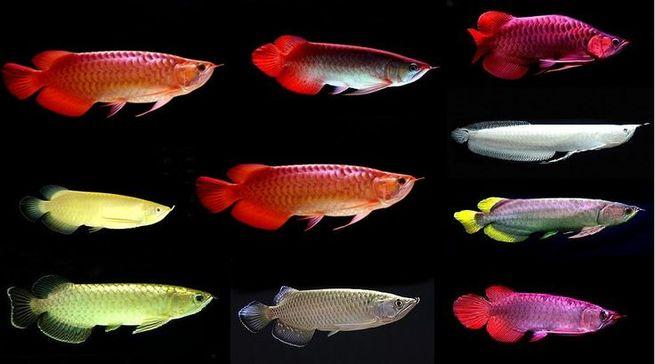 Blue Base Arowana Fish / Red Dragon Arowana Fish / Super Red Arowana Fish