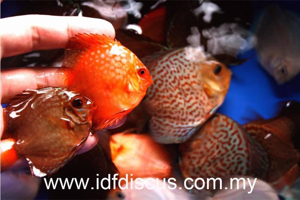 Discus fish assorted discus idf aquarium trading malaysia for Discus fish price