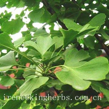Ginkgo leaf Extract CAS: 90045-36-6  flavoglycosides