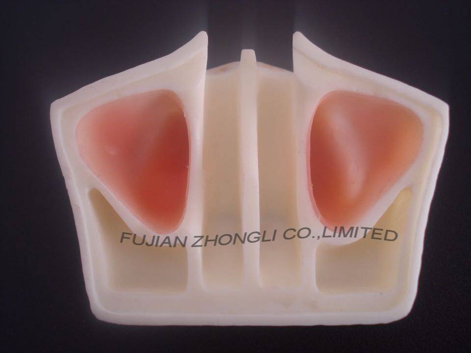 dental implant model for sinus lift practice