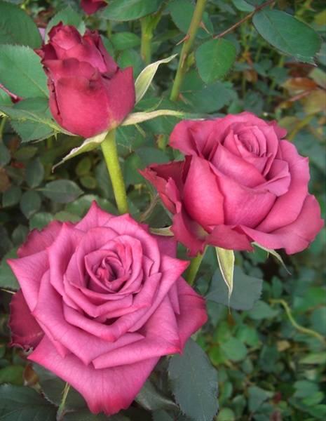 Blue-berry purple rose