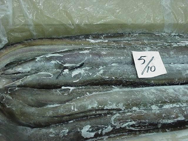 Conger Eel Fish (long fin eel)